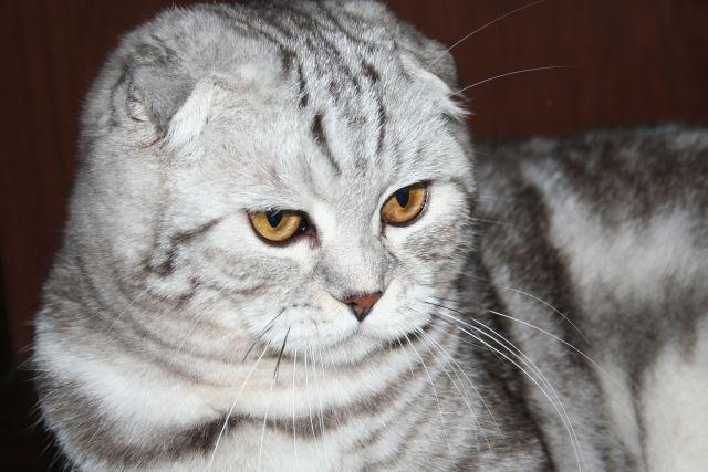 Британская короткошерстная кошка в Москве продажа цены